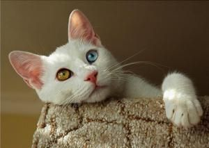 Уникальные кошки-турецкий Ван