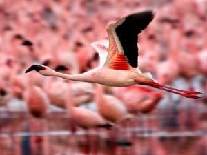 Gолет розовых фламинго