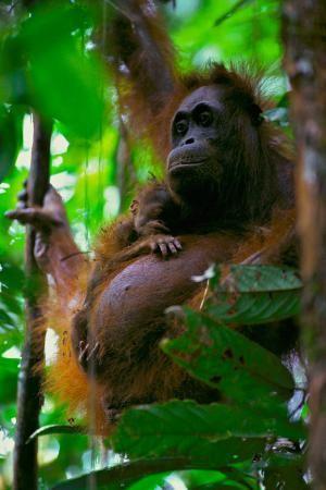 Орангутанг в  Национальном парке Гунунг-Палунг