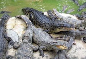 Пресноводные крокодилы