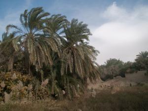 В пальмовом саду в оазисе Фарафра