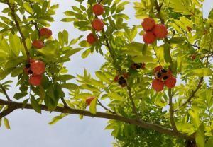 Дерево Аки