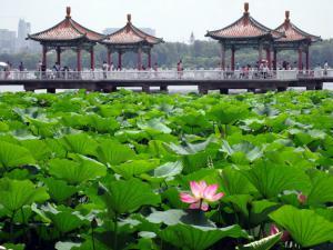 Озеро лотосов в парке Наньху