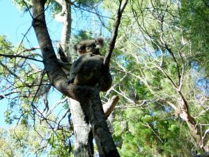 Коала в Национальном парке