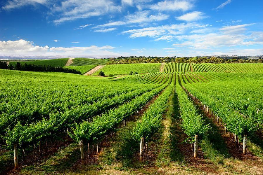 вин-вита - виноград дарующий жизнь!