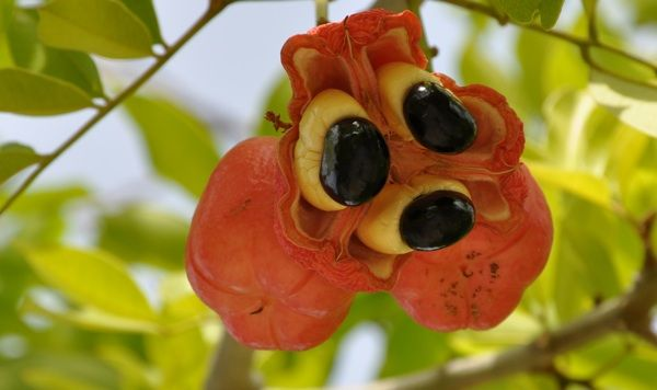 http://journeying.ru/images/stories/picture-of-ackee.jpg